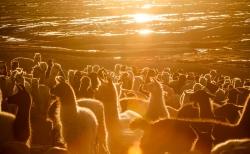 Alpacas al amanecer en el Parque Nacional Sajama